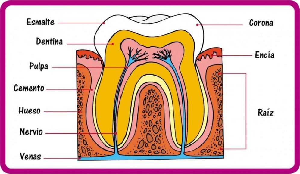 clinica-dental-patricia-clinica-dental-getafe-dentista-getafe-partes-de-los-dientes